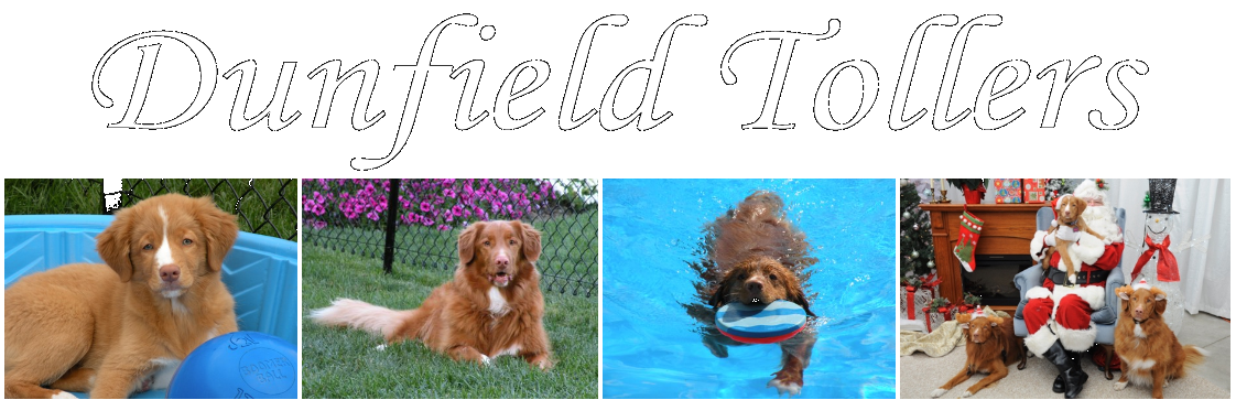 Dunfield Tollers